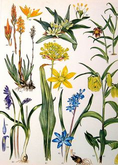 Vintage Botanical Prints Flowers by ninainflorida, via Flickr