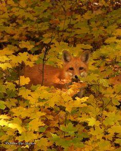 Herbstfuchs - Autumn Fox, lost in the autumn foliage