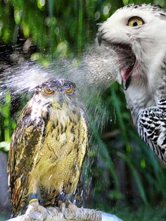 Baby owl getting a bath from mom, and baby doesn't look happy about it either!