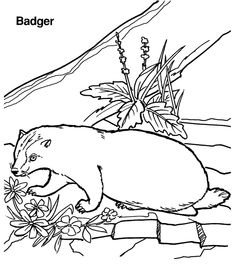 Badger Coloring Page Printable