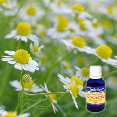 Buy Chamomile Essential Oil (Anthemis nobilis) for aromatherapy, skin care and natural perfumes. Tinderbox: supplying pure essential oils since 1982 Chamomile Essential Oil, Pure Essential Oils, Blue Glass Bottles, Roman Chamomile, Baby Powder, Massage Oil, Calendula, Tea Tree, Aromatherapy