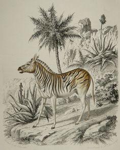1855 Antique print of a DAUW ZEBRA