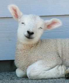 A content, young lamb lying on the ground with a smile on its face and its eyes closed.