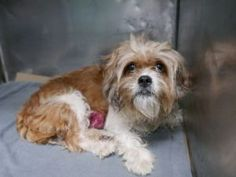 SUPER URGENT 06/19/17 My name is PRECIOSA. My Animal ID # is A1115481. I am a female brown and white maltese mix. The shelter thinks I am about 6 YEARS old.  I came in the shelter as a OWNER SUR on 06/15/2017 from NY 11216, owner surrender reason stated was LLORDPRIVA. I came in with Group/Litter #K17-101022.