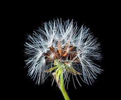Dandelion, Small Flower, Wild Flower, Flower, Blueme