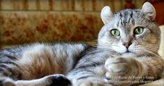 Imagen de un gato American Curl tumbado. Ojos grandes y redondos. Raza de gatos pequeños (Image of an American Curl cat lying. large round eyes. Breed of small cats).