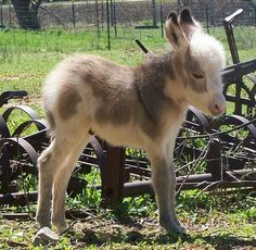 Minature Donkey....sweetest minature animal of all.  Minatue horses are usually so mean...donkeys are beyond sweet...all they want is to be cuddled and loved!!!!!  Came SO close to getting 2 (because you can't get just one, they get lonely).  We visit the breeder every spring......