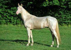 Akhal-Teke stallion Yunnan Gush Asman
