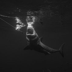 Photo Caption, Shark Week, Nature Animals, All Pictures, Predator, Black And White Photography, Location History, Discovery, Whale