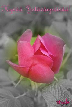 #ystävänpäivä #valentisday #pink #flower #finland #styde Finland, Vegetables, Rose, Flowers, Plants, Pink, Veggies, Roses, Florals