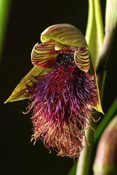 Purple-beard orchid [Calochilus platychilus] -