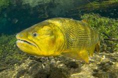 Peixe Dourado 4