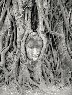 Bouddha prisonnier des racines