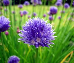 Purple Chive Flower makes great bouquet Garlic Chives, Purple Garden, Edible Flowers, Flower Making, Purple And Black, Bouquet, Bloom, Trees, Earth