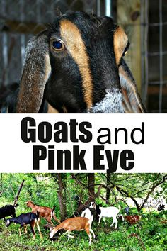 Pink eye in goats - what it is and how to recognize it and treat it. Keeping Goats, Raising Goats, Treating Pink Eye, Goat Pen, Goat Care, Boer Goats, Goat Farming, Hobby Farms, Chickens Backyard