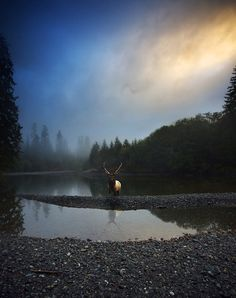 Roosevelt Elk by Snorri Gunnarsson. Tahsish Kwois Provincial Park Vancouver Island