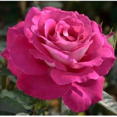 Rosier Baronne de Rothschild ® Meigriso _ PP Happy Flowers, Pretty Flowers, Pink Roses, Pink Flowers, Roses Only, Rose Pictures, Single Rose, Hybrid Tea Roses, Rose Cottage