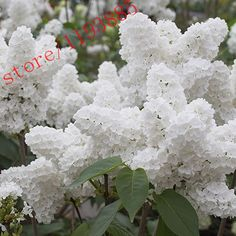 100pcs White Japanese Lilac Seeds (Extremely Fragrant) clove  flower seeds for  home & garden -  http://mixre.com/100pcs-white-japanese-lilac-seeds-extremely-fragrant-clove-flower-seeds-for-home-garden/  #Bonsai