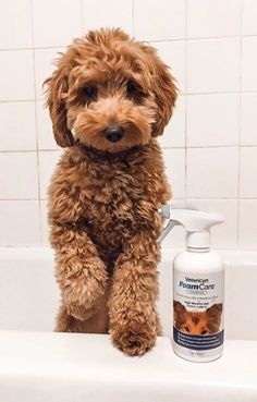 Goldendoodle Doodle Dog - Made Chien Goldendoodle, Mini Goldendoodle Puppies, Goldendoodles, Goldendoodle Haircuts, Labradoodles, Goldendoodle Miniature, Cute Dogs And Puppies, Pet Dogs, Dog Cat
