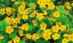 Bilde av BUSKMURE 'GOLDFINGER' September, Planters, Herbs, Garden, Pictures, Garten, Lawn And Garden, Herb, Gardens
