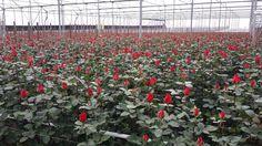 Roses RosesOnly Noordwijk