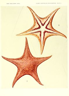 "https://flic.kr/p/atJHdG | n626_w1150 | Echinoderms from Australia Cambridge, U.S.A. :Printed for the Museum,1938. <a href=""http://biodiversitylibrary.org/page/4374798"" rel=""nofollow"">biodiversitylibrary.org/page/4374798</a>"