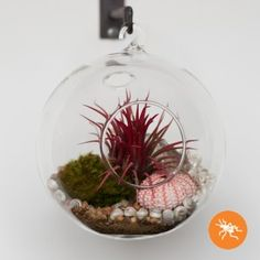 Photo by Stella Alesi   hanging orb aerium with tillandsia and seashells