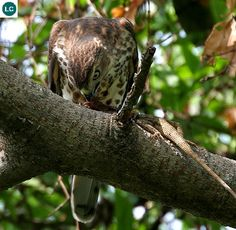 https://www.facebook.com/WonderBirdSpecies/ Shikra/Little banded goshawk (Accipiter badius); Asia and Africa; IUCN Red List of Threatened Species 3.1 : Least Concern (LC)(Loài ít quan tâm) || Ưng xám; Châu Á và châu Phi; HỌ ƯNG (Đại bàng) - ACCIPITRIDAE (Hawks, Eagles, Kites, Harriers and Old World vultures).