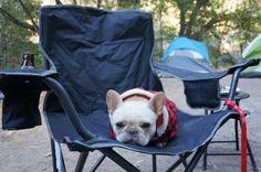 This disgruntled camper. | 50 Adorable Reasons That 2013 Was The Year Of The French Bulldog