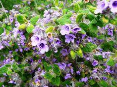 Australian Plants Society NSW - Prostanthera incana, Velvet Mintbush