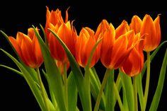 Tulips are so delicate, yet so exuberant!