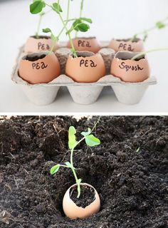 Get your garden started early by planting your seeds in eggshells indoors before the weather permits outdoor growth. There are several reasons why eggshells are the perfect pot for this, but the biggest is that they are cheap (free really), full of calciu Garden Care, Gardening For Beginners, Gardening Tips, Gardening Services, Gardening Gloves, Diy Garden Decor, Egg Shells, Growing Plants, Garden Planning