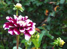 dual colour flower