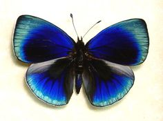 Glowing Blue Optima Real Butterfly Conservation Display 819d. $49.99, via Etsy.