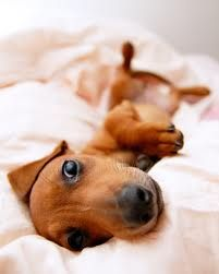 Dachshund so cute