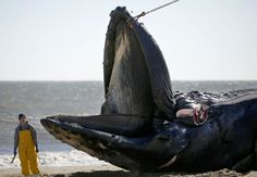 3rd beached whale was likely distracted by food when fatally struck, scientists say