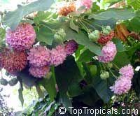 Dombeya wallichii, Dombeya cayeuxii, Dombeya acutangula, Dombea, Tropical Hydrangea  Click to see full-size image
