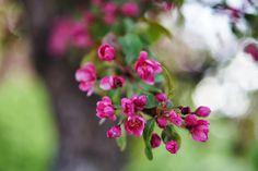 Pink apple tree flowers, #flowers