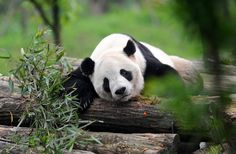 Ex-Panbassadors enjoy home: Tai Shan, 9, rests back home at the Dujiangyan base of the China Conservation and Research Center for the Giant Panda. The 9-year-old male panda charmed millions of Americans during his stay at the Smithsonian's National Zoo in Washington DC for four and a half years. Qiu Yu / For China Daily