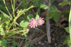 gölbaşı-toki zehirli yonca(dorycnium pentaphyllum)