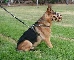 German shepherd dog - german shepherd protection dogs training - bite work and long attack - german shepherd male tayson visit our website: http://www. Description from dogbreedspicture.net. I searched for this on bing.com/images