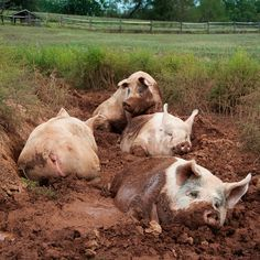 Living the life . . . happy as a pig in mud!