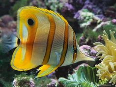 Saltwater Fish - Copperband Butterflyfish