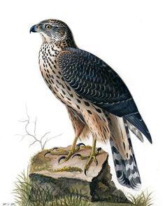 Duvhök, Accipiter gentilis - Fåglar - NatureGate