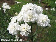 KOREAKÄRSÄMÖ - VITPYTTA. Achillea ptarmica f. multiplex. Kukinnon väri: valkoinen. Kukinta-aika: heinä-syyskuu. Valovaatimus: aurinkoinen. Korkeus: 50 cm. Kestävyys: hyvin kestävä.