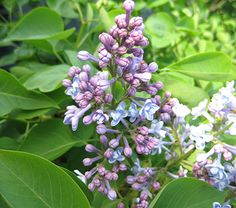 Syringa vulgaris President Grevy Hardiness Zone: 3-7 S / 3-8 W Height: 8'+ Fragrance: Yes Deer Resistant: Yes Exposure: Full Sun Blooms In: May