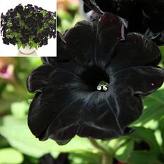 f1cac4a79 Vinca Tattoo Black Cherry 25 thru 250 Seeds New For