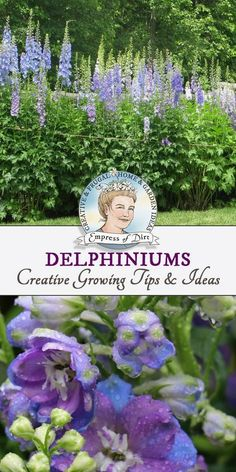 Garden tips and ideas for growing delphiniums including seed starting, double-blooming season, and care. #GardeningTips