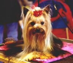 Yorkie cuts for short haired silky Puppy cut Yorkie Cuts, Yorkie Hairstyles, Puppy Cut, Cute Animals, Hair Cuts, Yorkshire Terriers, Puppies, Yorkies, Pets