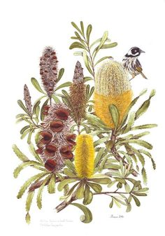 Botanical Art Society of Australia - George Kraus Australian Wildflowers, Australian Native Flowers, Australian Art, Australian Vintage, Plant Illustration, Botanical Illustration, Botanical Drawings, Botanical Prints, Art Society